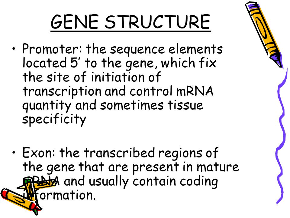 GENE STRUCTURE Promoter: the sequence elements located 5' to the gene, which fix the site of initiation of transcription and control mRNA quantity and