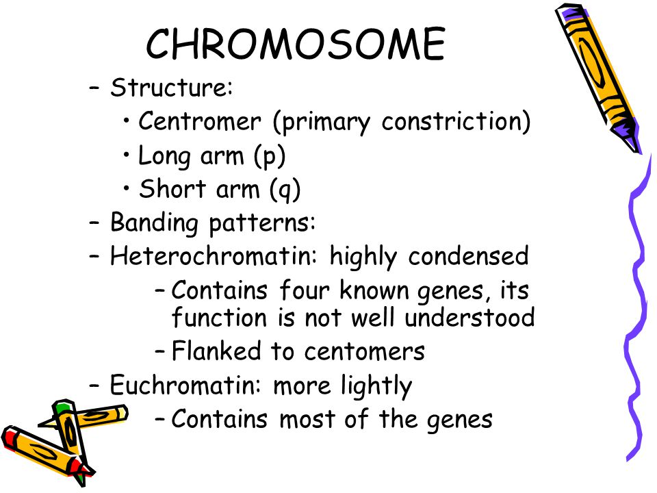 CHROMOSOME –Structure: Centromer (primary constriction) Long arm (p) Short arm (q) –Banding patterns: –Heterochromatin: highly condensed –Contains four known genes, its function is not well understood –Flanked to centomers –Euchromatin: more lightly –Contains most of the genes