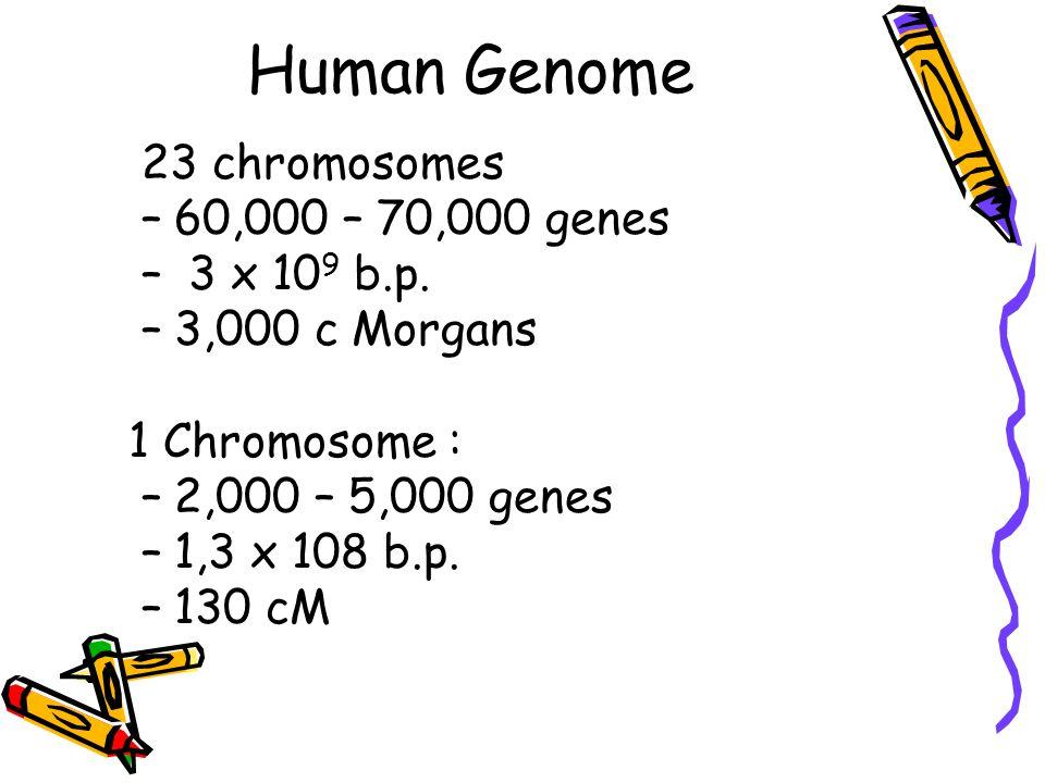 Human Genome 23 chromosomes –60,000 – 70,000 genes – 3 x 10 9 b.p.