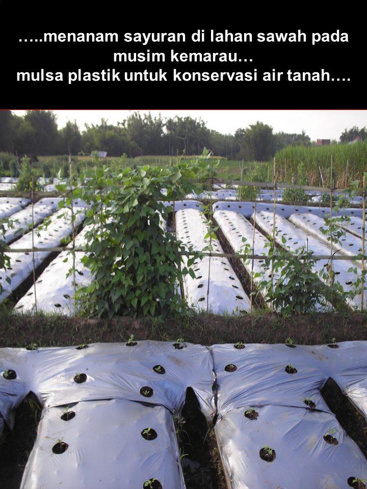 …..menanam sayuran di lahan sawah pada musim kemarau… mulsa plastik untuk konservasi air tanah….
