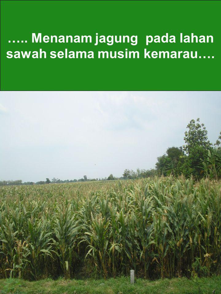 ….. Menanam jagung pada lahan sawah selama musim kemarau….