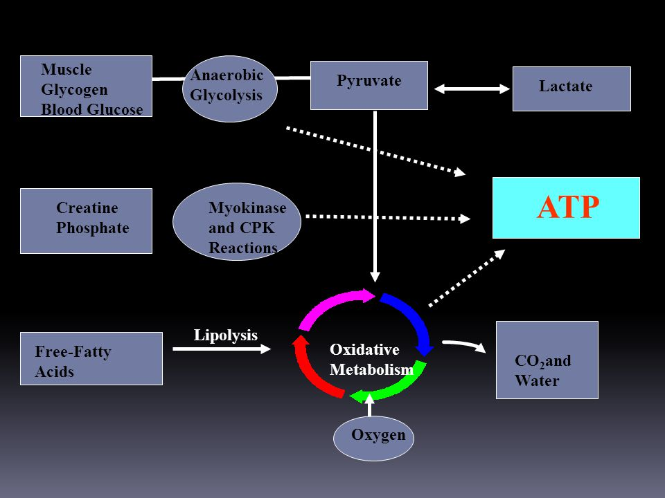 Muscle Glycogen Blood Glucose Anaerobic Glycolysis Oxidative Metabolism Pyruvate Lactate ATP Free-Fatty Acids Creatine Phosphate Myokinase and CPK Reactions CO 2 and Water Lipolysis Oxygen SOURCES OF ENERGY FOR THE PERFORMANCE HORSE