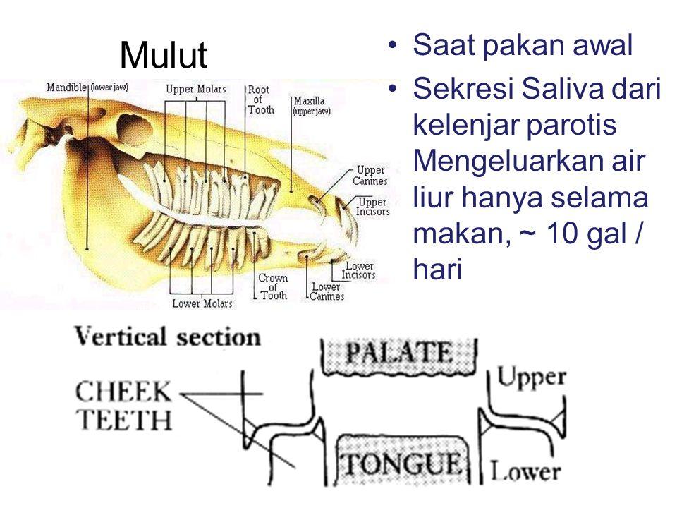Saat pakan awal Sekresi Saliva dari kelenjar parotis Mengeluarkan air liur hanya selama makan, ~ 10 gal / hari Mulut