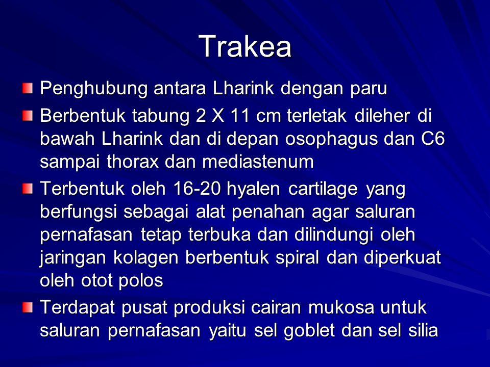 Trakea Penghubung antara Lharink dengan paru Berbentuk tabung 2 X 11 cm terletak dileher di bawah Lharink dan di depan osophagus dan C6 sampai thorax