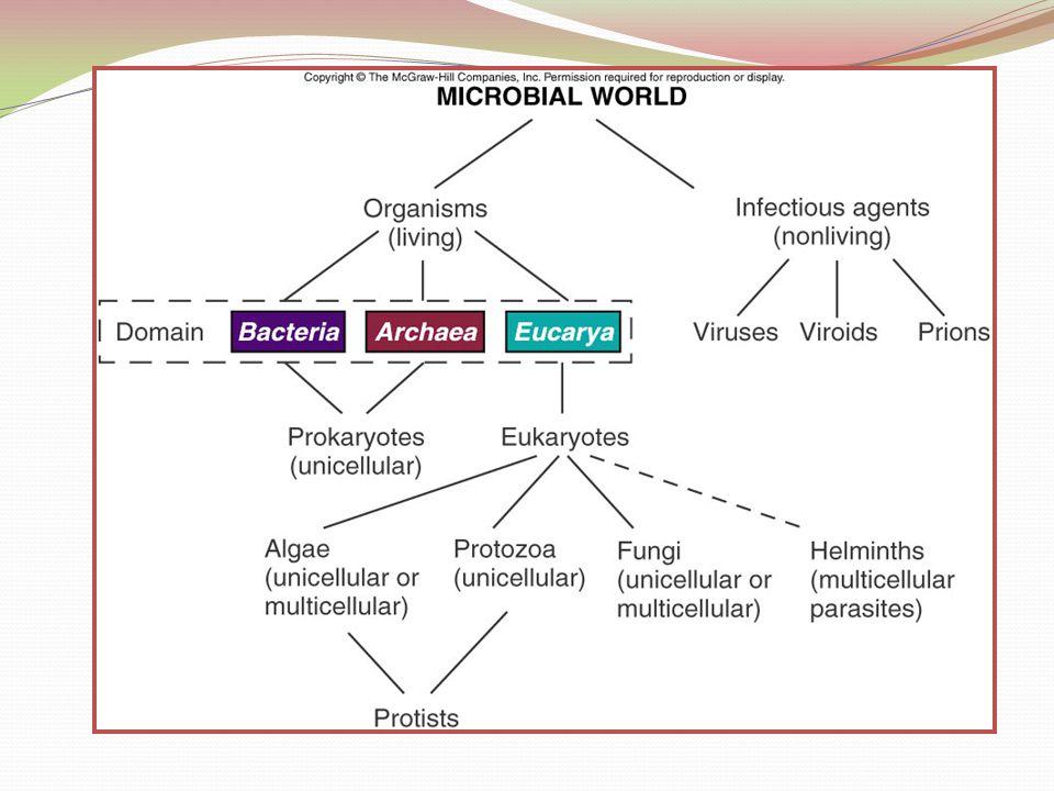 PROKARYOT Terdiri dari 2 Domain yaitu Archaea dan Eubacteria Perbedaan diantara keduanya terutama didasarkan karakter berikut: