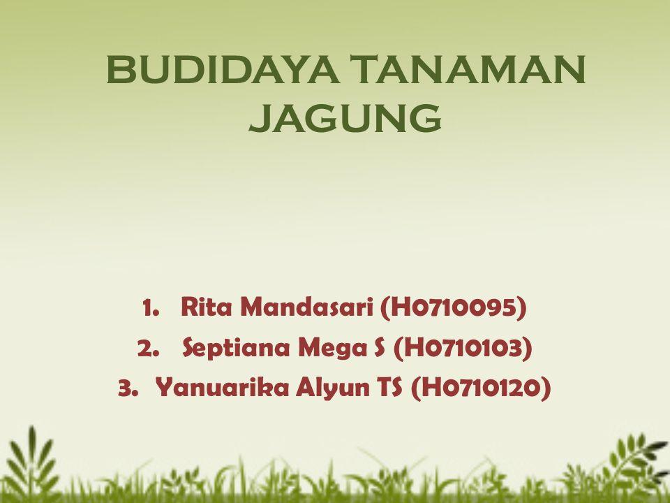 BUDIDAYA TANAMAN JAGUNG 1.Rita Mandasari (H0710095) 2. Septiana Mega S (H0710103) 3.Yanuarika Alyun TS (H0710120)