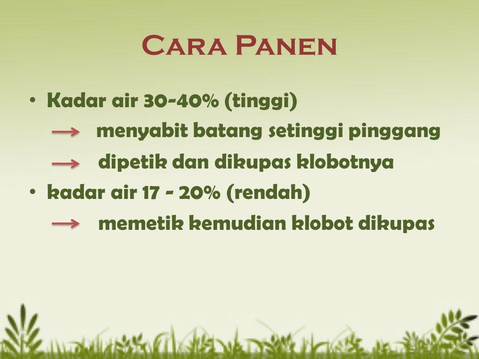 Cara Panen Kadar air 30-40% (tinggi) menyabit batang setinggi pinggang dipetik dan dikupas klobotnya kadar air 17 - 20% (rendah) memetik kemudian klob