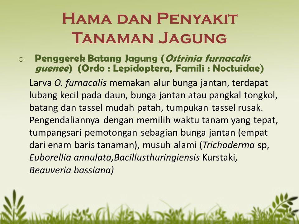 Hama dan Penyakit Tanaman Jagung o Penggerek Batang Jagung (Ostrinia furnacalis guenee) (Ordo : Lepidoptera, Famili : Noctuidae) Larva O. furnacalis m