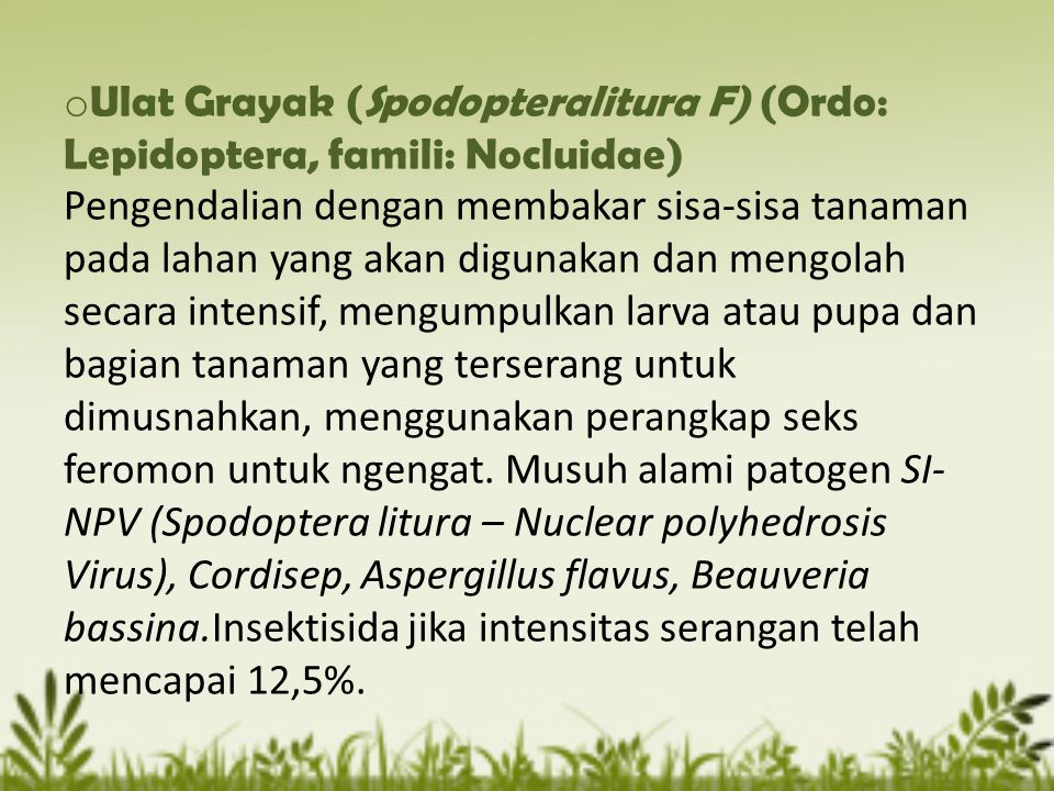 o Ulat Grayak (Spodopteralitura F) (Ordo: Lepidoptera, famili: Nocluidae) Pengendalian dengan membakar sisa-sisa tanaman pada lahan yang akan digunaka