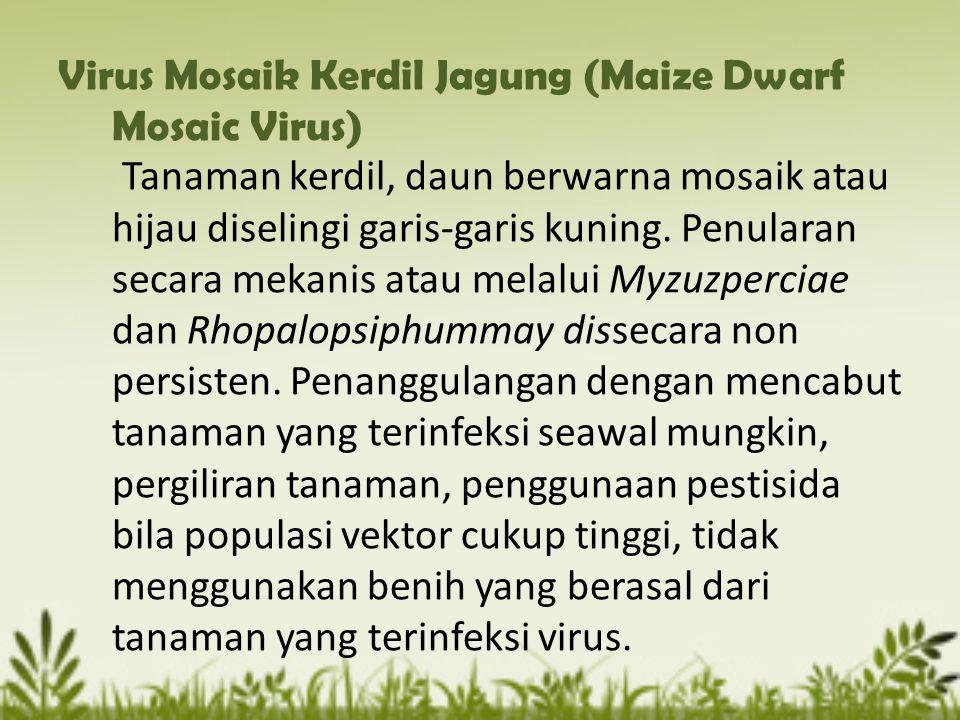 Virus Mosaik Kerdil Jagung (Maize Dwarf Mosaic Virus) Tanaman kerdil, daun berwarna mosaik atau hijau diselingi garis-garis kuning. Penularan secara m