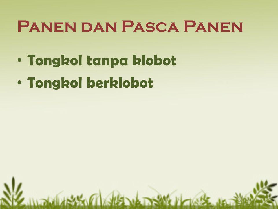 Panen dan Pasca Panen Tongkol tanpa klobot Tongkol berklobot