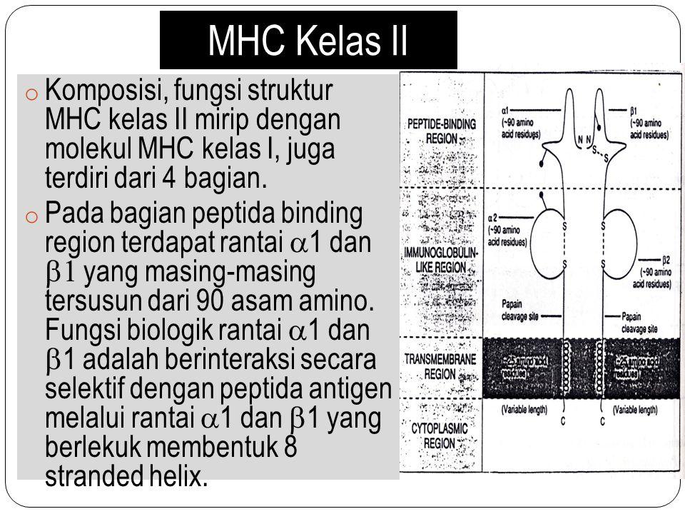 MHC Kelas II o Komposisi, fungsi struktur MHC kelas II mirip dengan molekul MHC kelas I, juga terdiri dari 4 bagian. o Pada bagian peptida binding reg