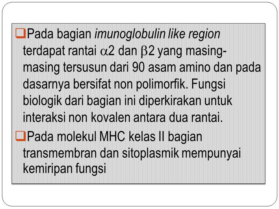  Pada bagian imunoglobulin like region terdapat rantai  2 dan  2 yang masing- masing tersusun dari 90 asam amino dan pada dasarnya bersifat non pol