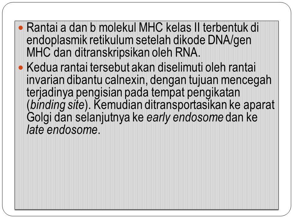 Rantai a dan b molekul MHC kelas II terbentuk di endoplasmik retikulum setelah dikode DNA/gen MHC dan ditranskripsikan oleh RNA. Kedua rantai tersebut