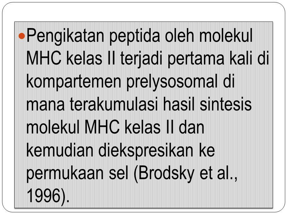 Pengikatan peptida oleh molekul MHC kelas II terjadi pertama kali di kompartemen prelysosomal di mana terakumulasi hasil sintesis molekul MHC kelas II