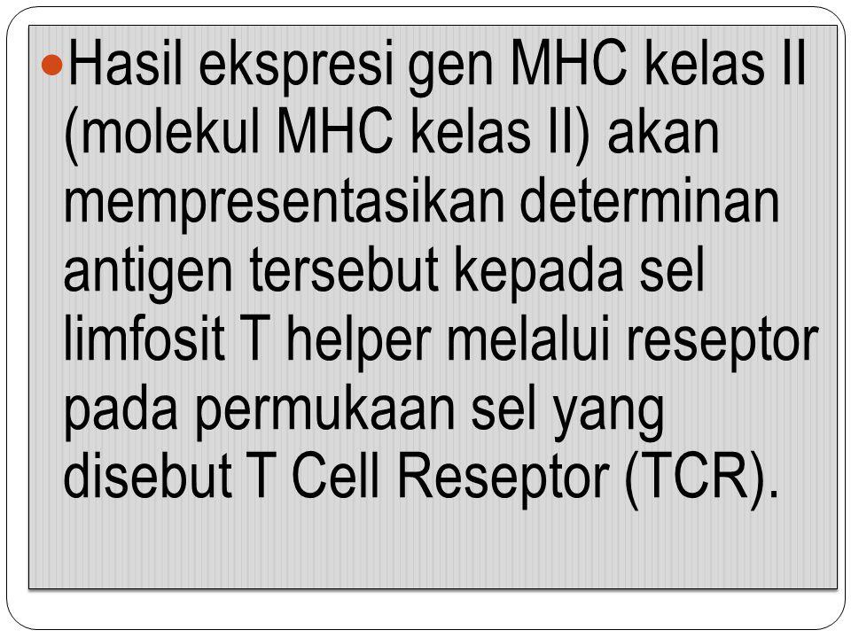 Hasil ekspresi gen MHC kelas II (molekul MHC kelas II) akan mempresentasikan determinan antigen tersebut kepada sel limfosit T helper melalui reseptor