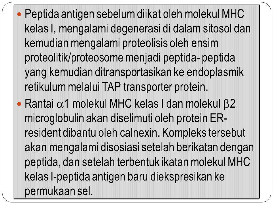 Peptida antigen sebelum diikat oleh molekul MHC kelas I, mengalami degenerasi di dalam sitosol dan kemudian mengalami proteolisis oleh ensim proteolit