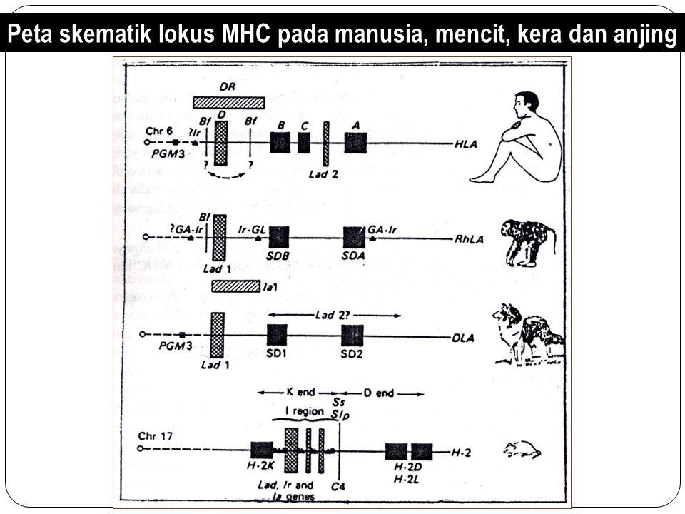 Struktur Dasar sistem MHC Gen MHC adalah kompleks gen pada suatu regio dari kromosom tertentu yang diukur dengan meiotic analysis pada panjang 2 sampai 3 centimorgans (cM) dan terdiri dari 2- 3 juta pasangan nukleotida.