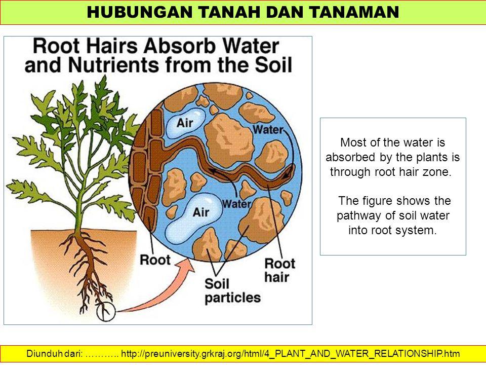 HUBUNGAN TANAH DAN TANAMAN Diunduh dari: ……….. http://preuniversity.grkraj.org/html/4_PLANT_AND_WATER_RELATIONSHIP.htm Most of the water is absorbed b