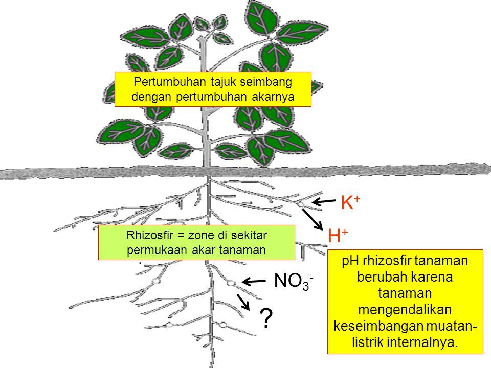 K+K+ H+H+ NO 3 - ? pH rhizosfir tanaman berubah karena tanaman mengendalikan keseimbangan muatan- listrik internalnya. Rhizosfir = zone di sekitar per