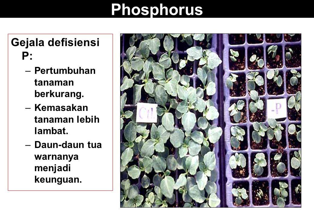 Phosphorus Gejala defisiensi P: –Pertumbuhan tanaman berkurang. –Kemasakan tanaman lebih lambat. –Daun-daun tua warnanya menjadi keunguan.