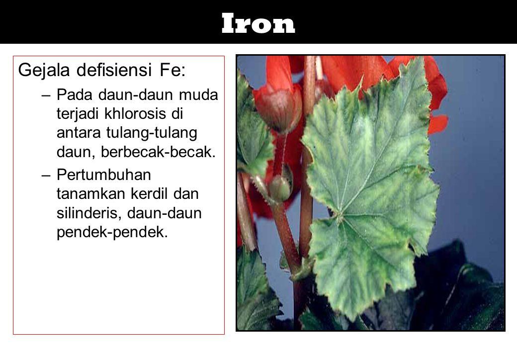 Iron Gejala defisiensi Fe: –Pada daun-daun muda terjadi khlorosis di antara tulang-tulang daun, berbecak-becak. –Pertumbuhan tanamkan kerdil dan silin