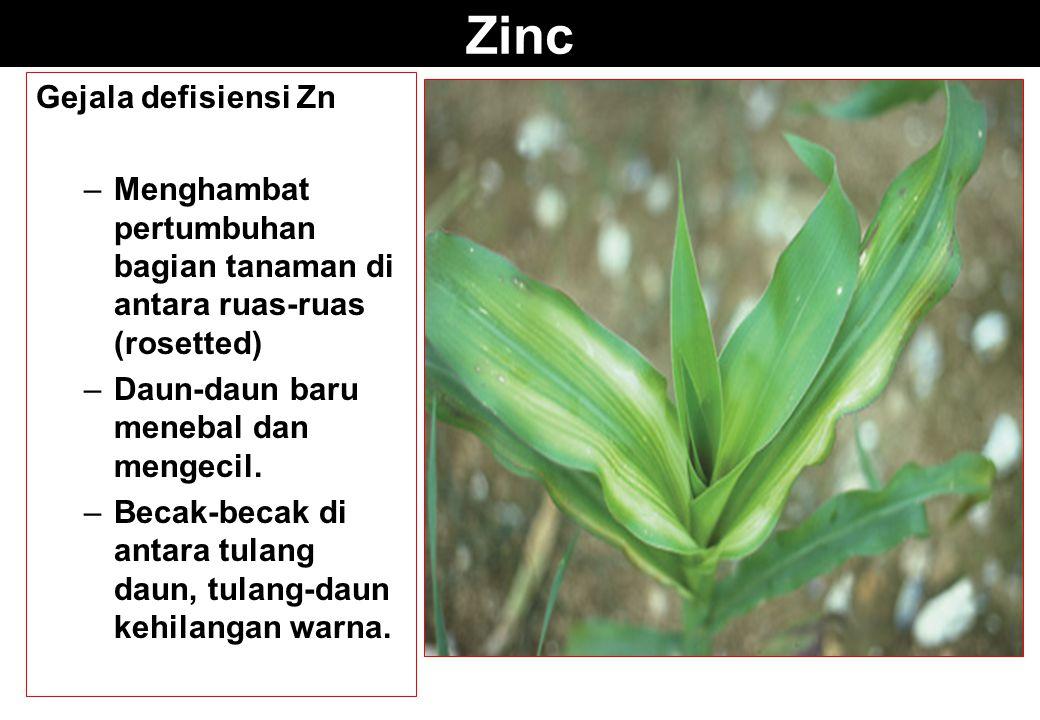 Zinc Gejala defisiensi Zn –Menghambat pertumbuhan bagian tanaman di antara ruas-ruas (rosetted) –Daun-daun baru menebal dan mengecil. –Becak-becak di