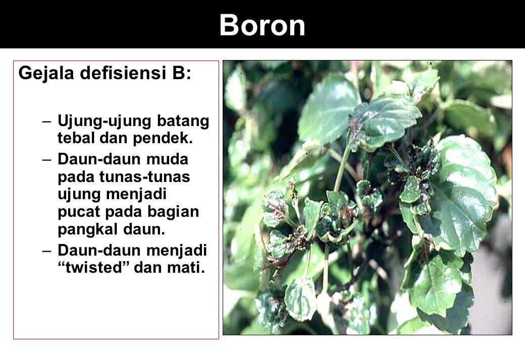 Boron Gejala defisiensi B: –Ujung-ujung batang tebal dan pendek. –Daun-daun muda pada tunas-tunas ujung menjadi pucat pada bagian pangkal daun. –Daun-