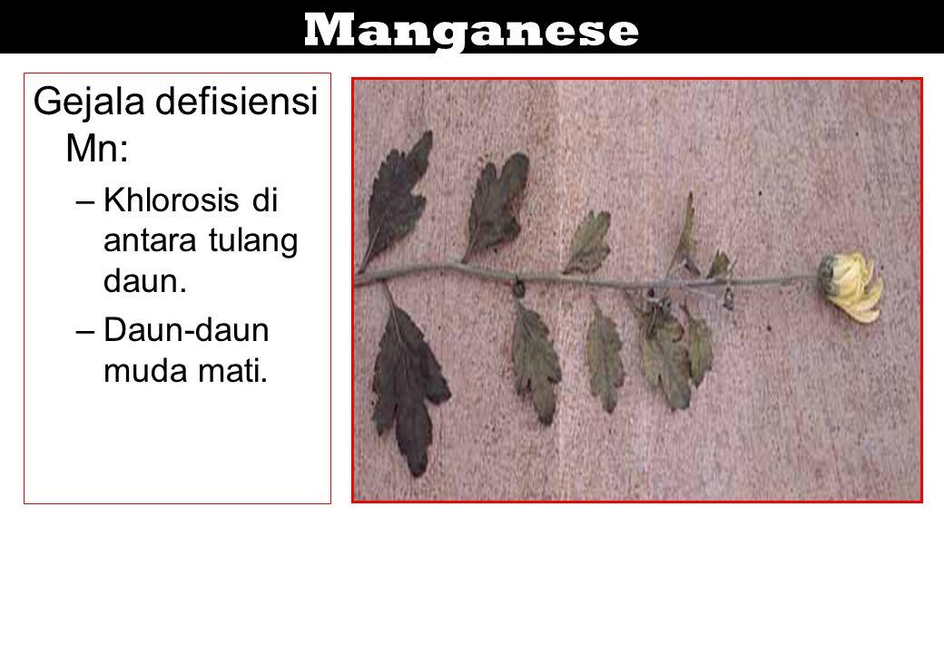 Manganese Gejala defisiensi Mn: –Khlorosis di antara tulang daun. –Daun-daun muda mati.