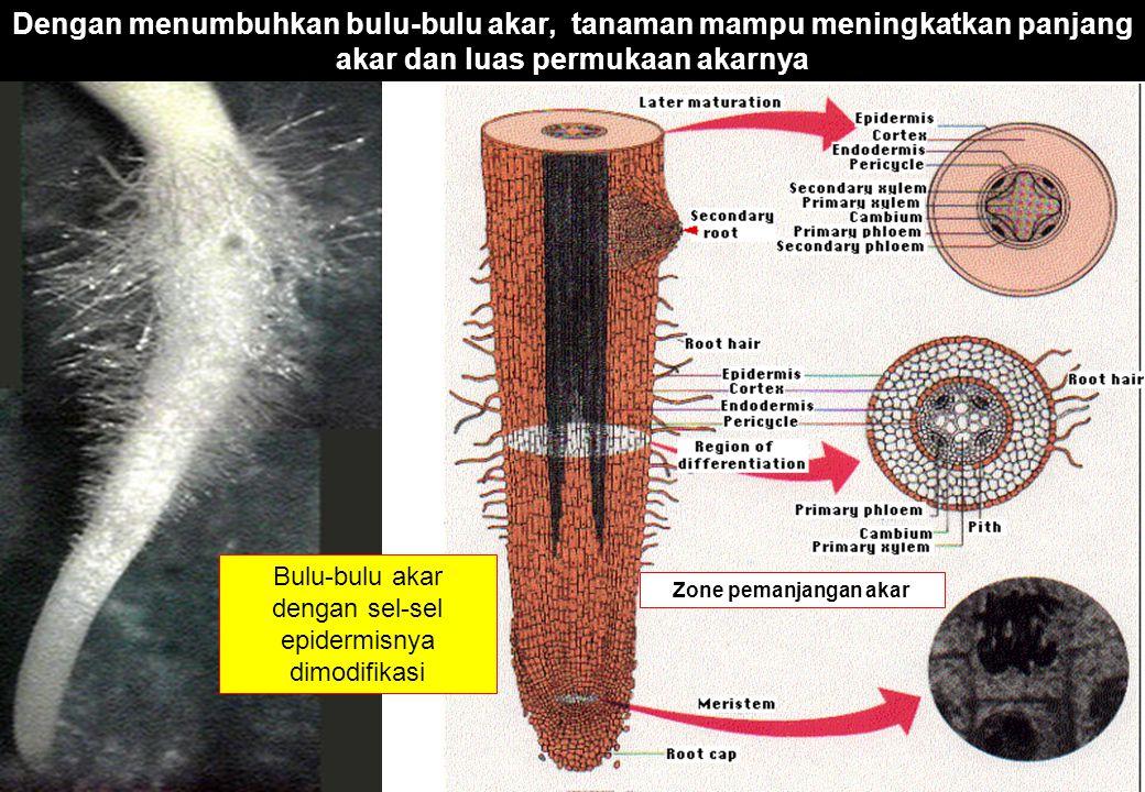 Bulu-bulu akar dengan sel-sel epidermisnya dimodifikasi Dengan menumbuhkan bulu-bulu akar, tanaman mampu meningkatkan panjang akar dan luas permukaan