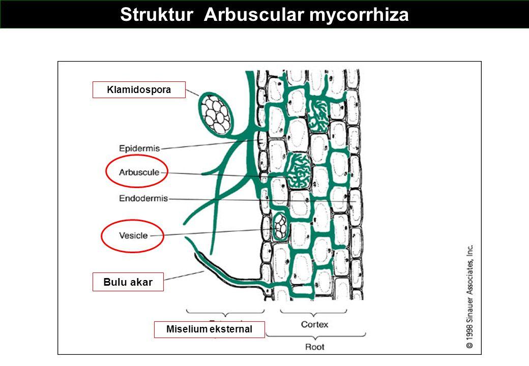 Struktur Arbuscular mycorrhiza Bulu akar Miselium eksternal Klamidospora