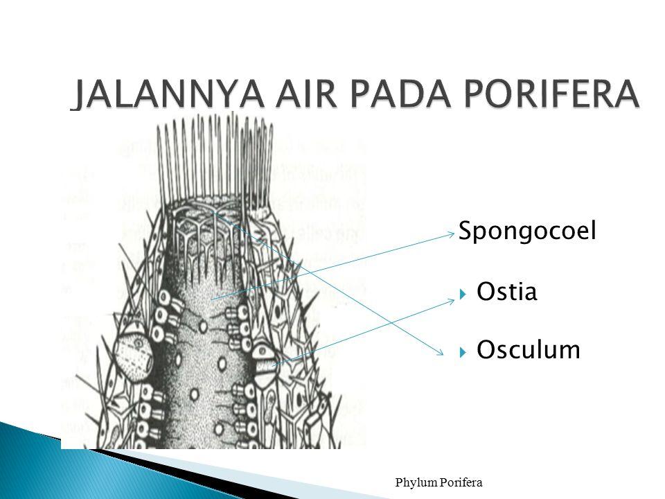 Spongocoel  Ostia  Osculum Phylum Porifera10