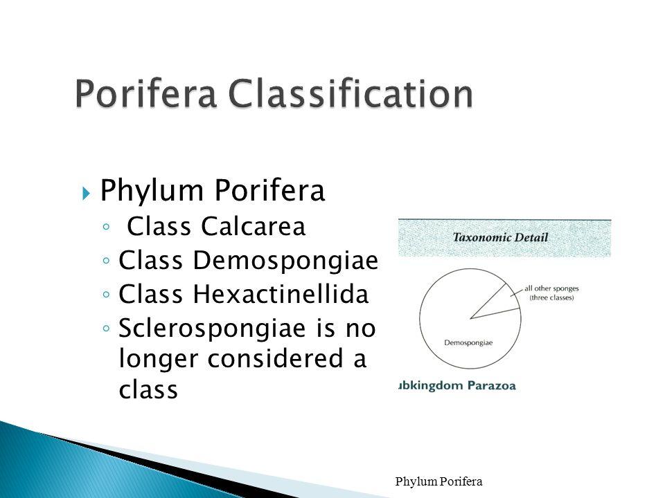  Phylum Porifera ◦ Class Calcarea ◦ Class Demospongiae ◦ Class Hexactinellida ◦ Sclerospongiae is no longer considered a class Phylum Porifera18