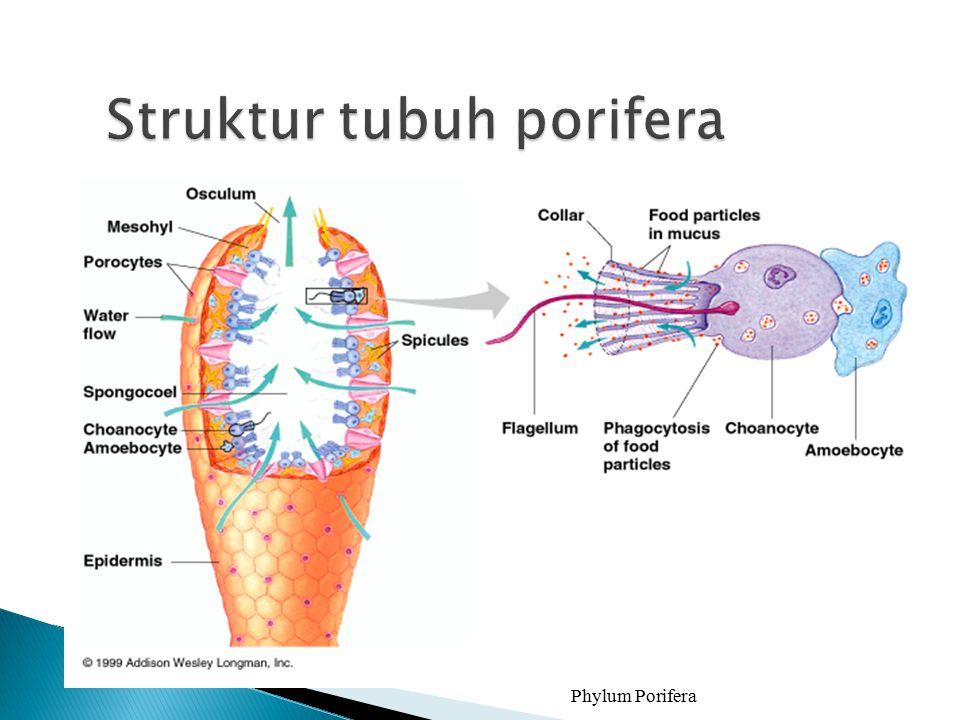 Phylum Porifera 4