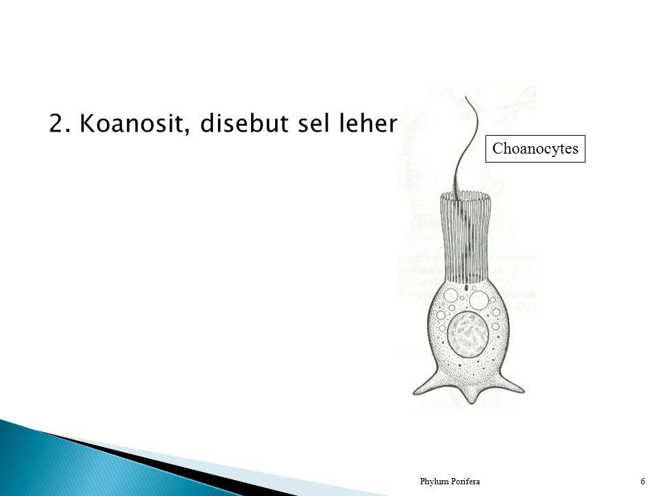 2. Koanosit, disebut sel leher Phylum Porifera6 Choanocytes