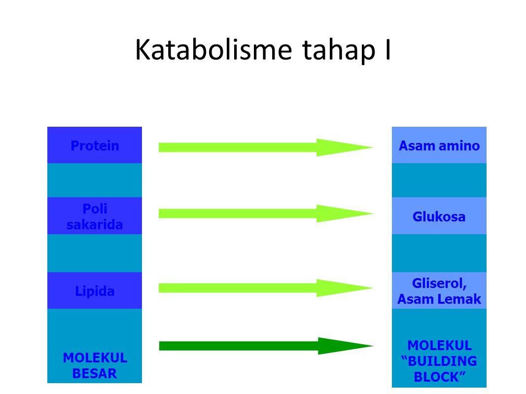 MOLEKUL BUILDING BLOCK MOLEKUL BESAR Katabolisme tahap I Protein Poli sakarida Lipida Asam amino Glukosa Gliserol, Asam Lemak
