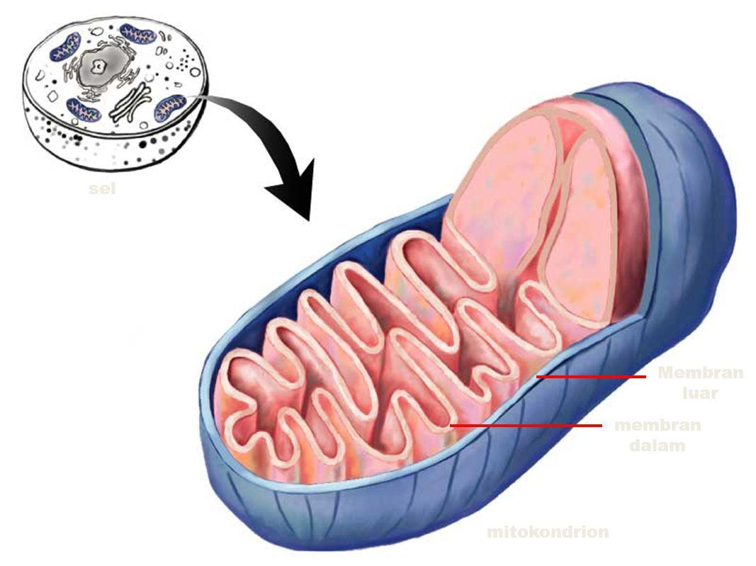 sel membran dalam Membran luar mitokondrion