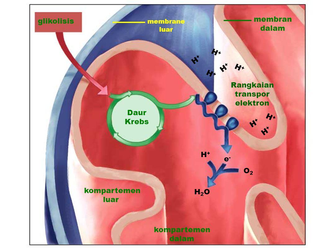 glikolisis Daur Krebs membrane luar membran dalam Rangkaian transpor elektron kompartemen dalam H2OH2O O2O2 H+H+ e-e- kompartemen luar H+H+ H+H+ H+H+ H+H+ H+H+ H+H+ H+H+ H+H+
