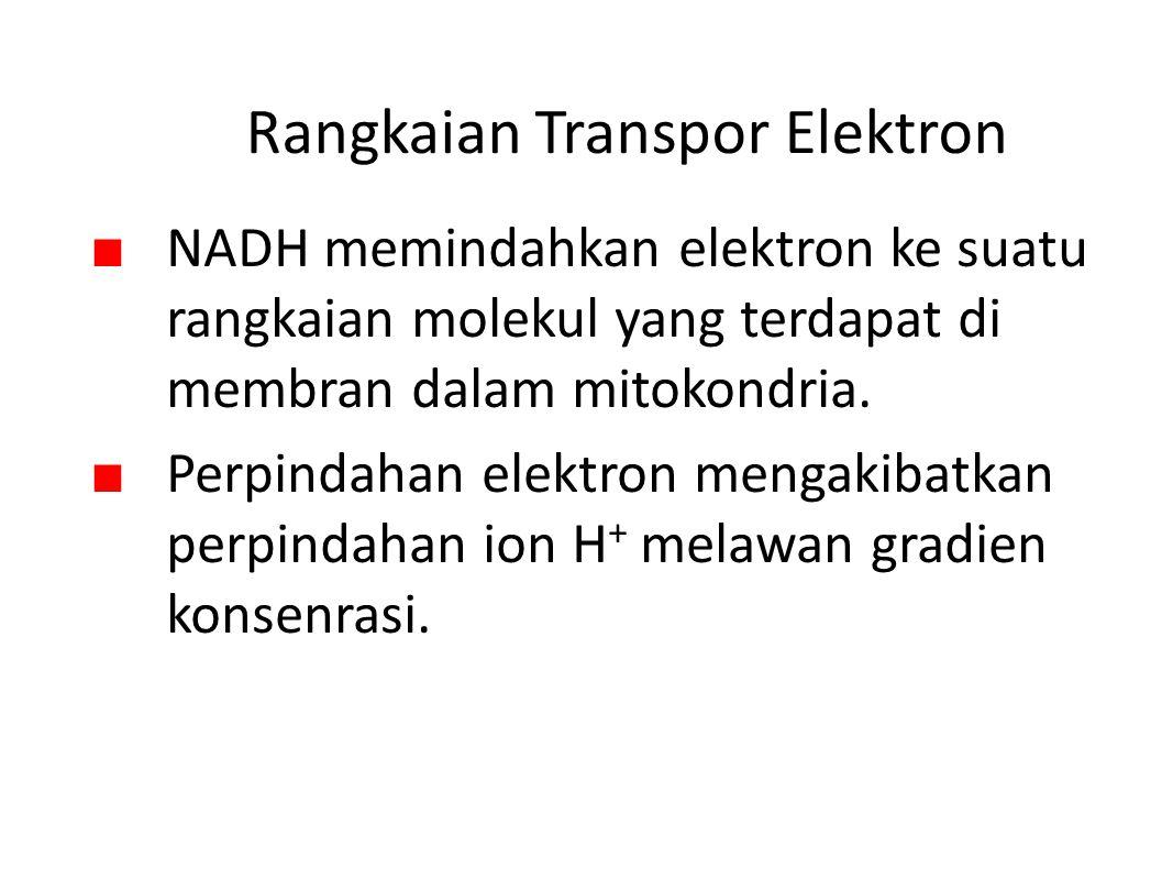 Rangkaian Transpor Elektron ■ NADH memindahkan elektron ke suatu rangkaian molekul yang terdapat di membran dalam mitokondria.