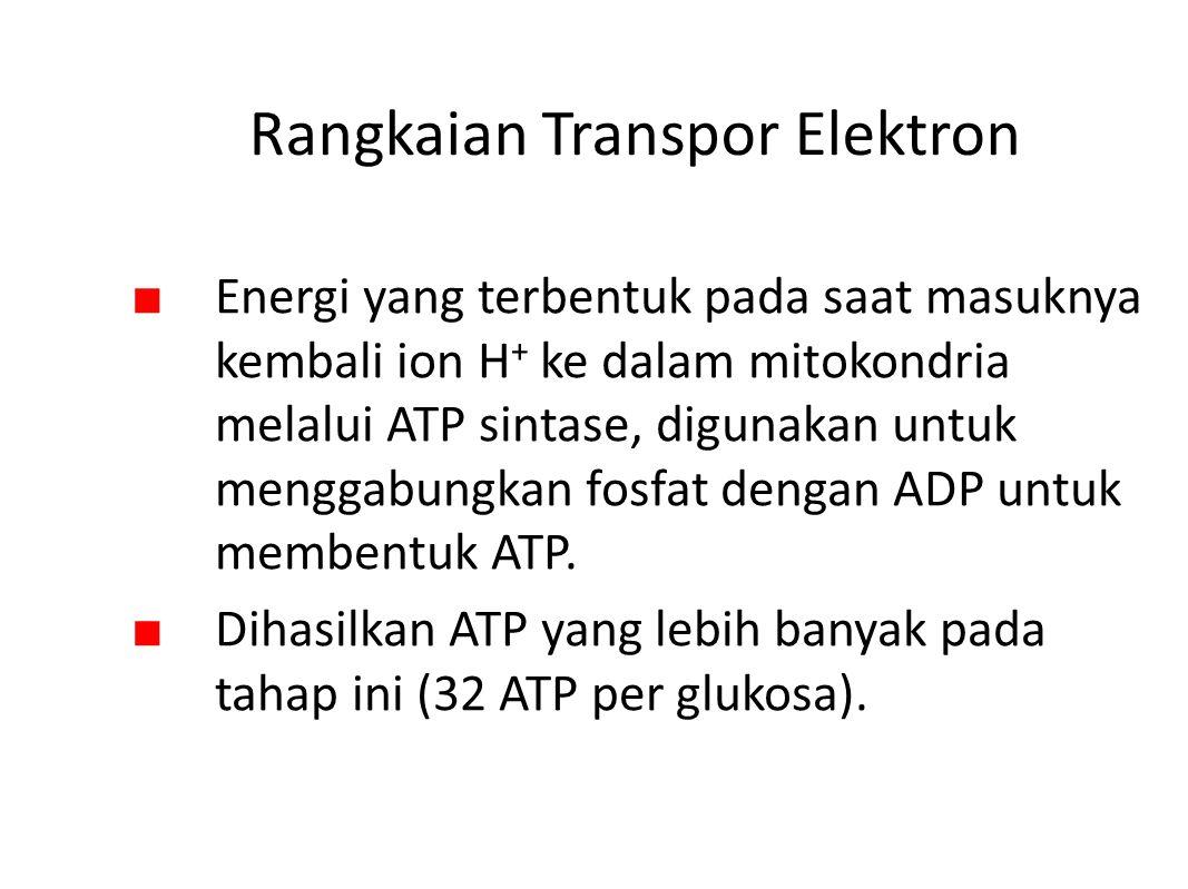 Rangkaian Transpor Elektron ■ Energi yang terbentuk pada saat masuknya kembali ion H + ke dalam mitokondria melalui ATP sintase, digunakan untuk menggabungkan fosfat dengan ADP untuk membentuk ATP.