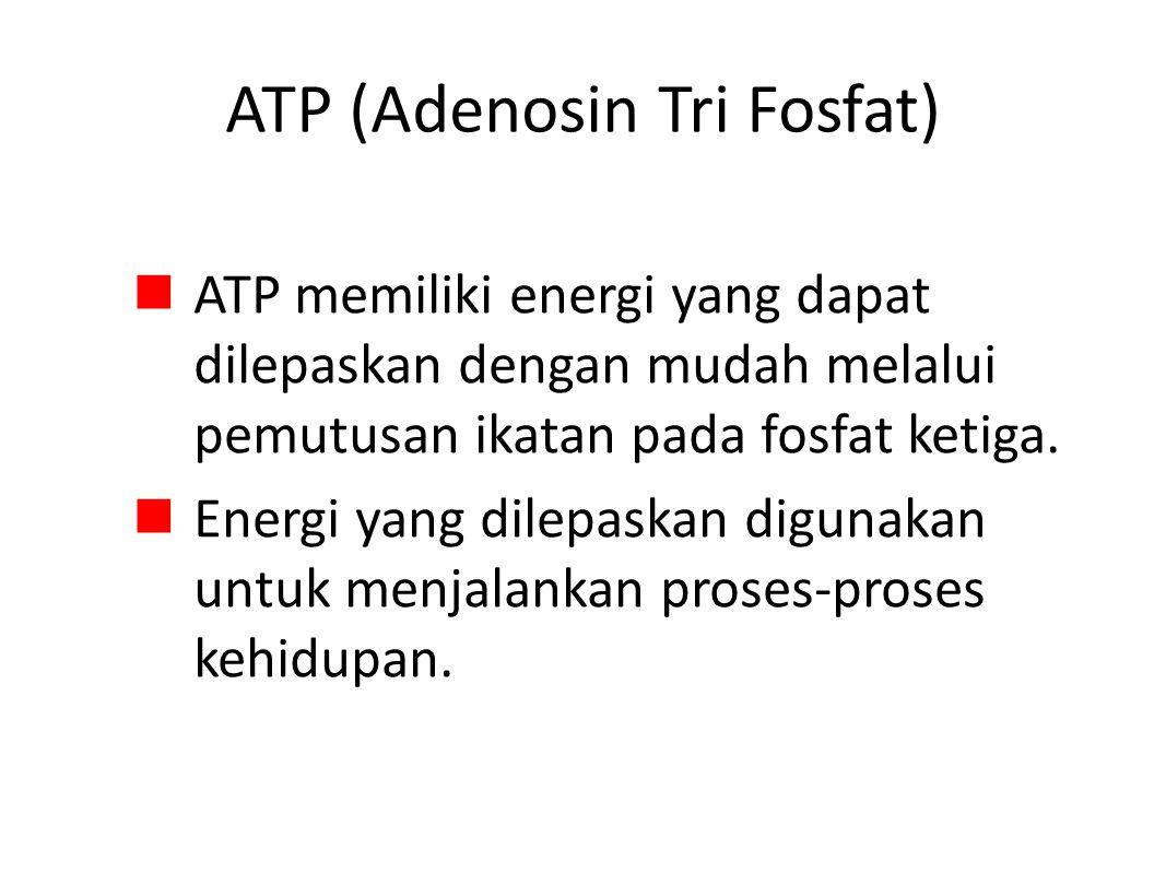 ATP (Adenosin Tri Fosfat) ATP memiliki energi yang dapat dilepaskan dengan mudah melalui pemutusan ikatan pada fosfat ketiga.