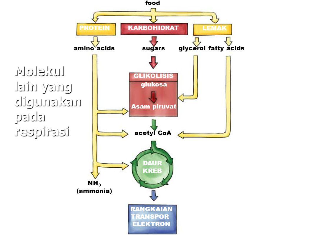 PROTEIN LEMAK KARBOHIDRAT food amino acidssugarsglycerol fatty acids GLIKOLISIS glukosa Asam piruvat acetyl CoA DAUR KREB NH 3 (ammonia) RANGKAIAN TRANSPOR ELEKTRON Molekul lain yang digunakan pada respirasi