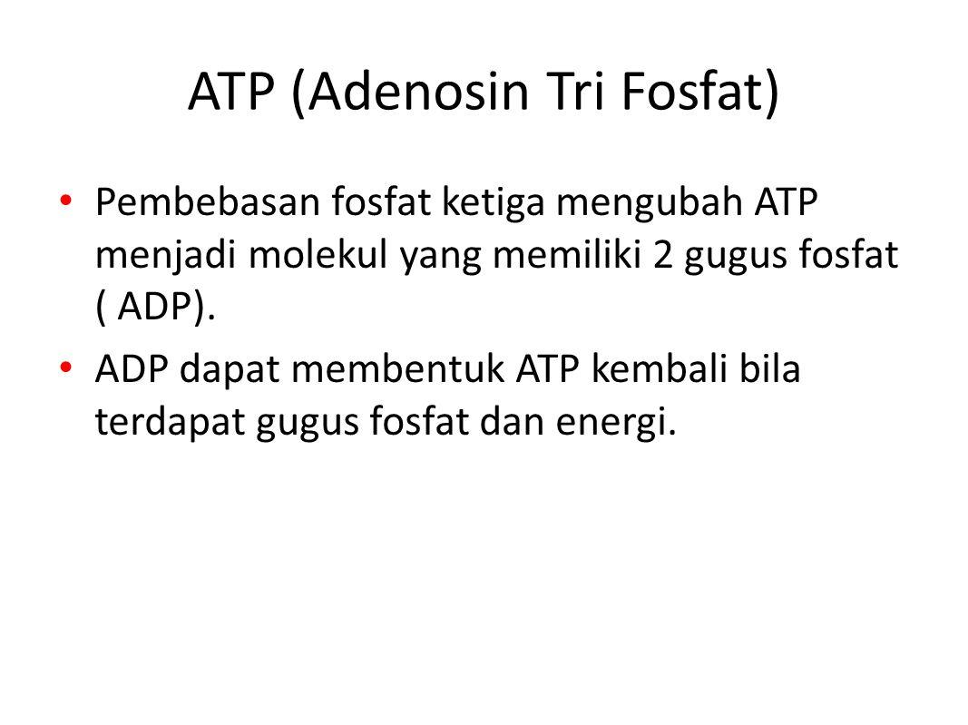 ATP (Adenosin Tri Fosfat) Pembebasan fosfat ketiga mengubah ATP menjadi molekul yang memiliki 2 gugus fosfat ( ADP).