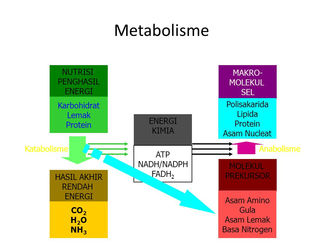 Metabolisme NUTRISI PENGHASIL ENERGI Karbohidrat Lemak Protein HASIL AKHIR RENDAH ENERGI CO 2 H 2 O NH 3 MAKRO- MOLEKUL SEL Polisakarida Lipida Protein Asam Nucleat MOLEKUL PREKURSOR Asam Amino Gula Asam Lemak Basa Nitrogen Katabolisme ENERGI KIMIA ATP NADH/NADPH FADH 2 Anabolisme
