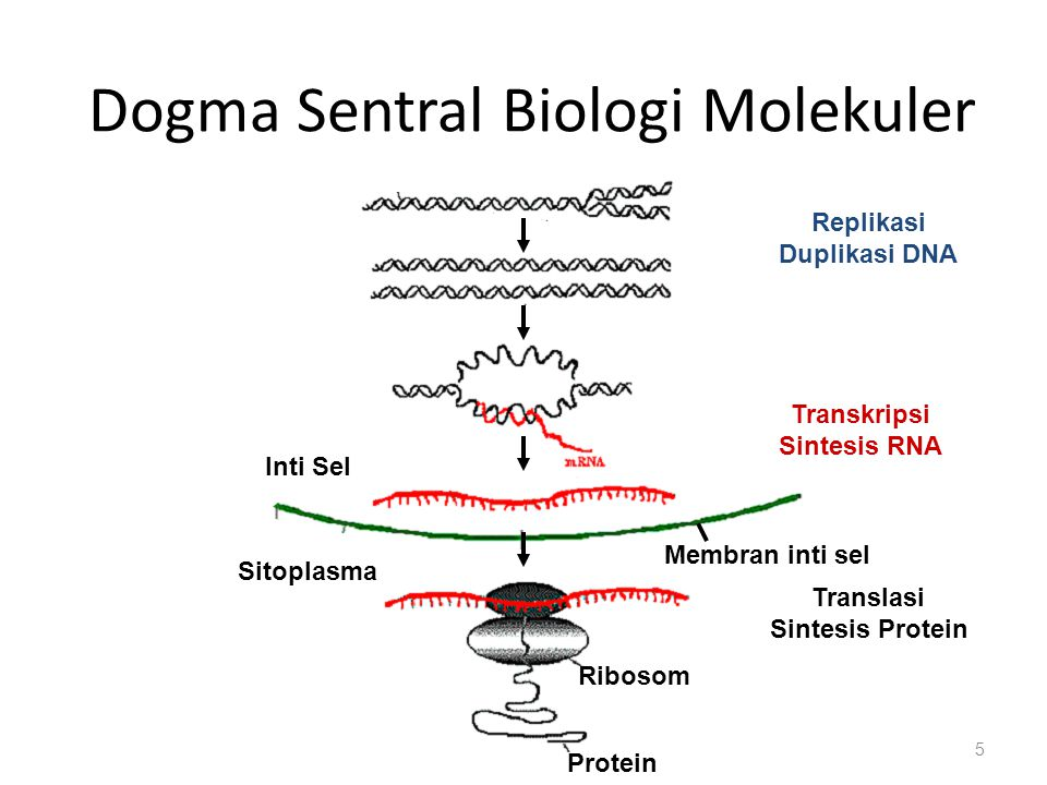 Dogma Sentral Biologi Molekuler 5 Replikasi Duplikasi DNA Transkripsi Sintesis RNA Translasi Sintesis Protein Inti Sel Sitoplasma Ribosom Protein Membran inti sel