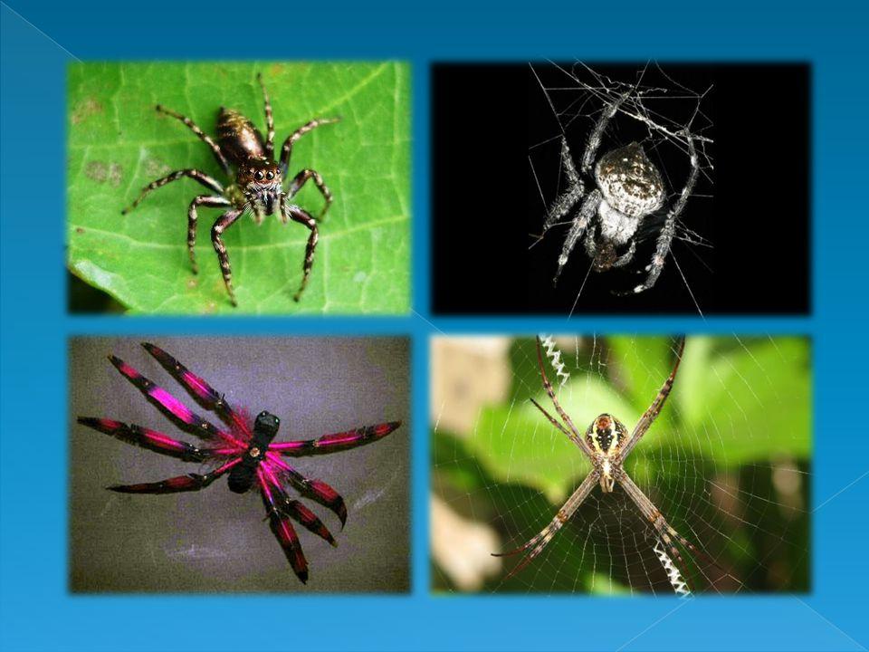 Laba-laba bernapas dengan paru-paru buku atau trakea.Paru-paru buku adalah organ respirasi berlapis banyak seperti buku dan terletak pada bagian abdom
