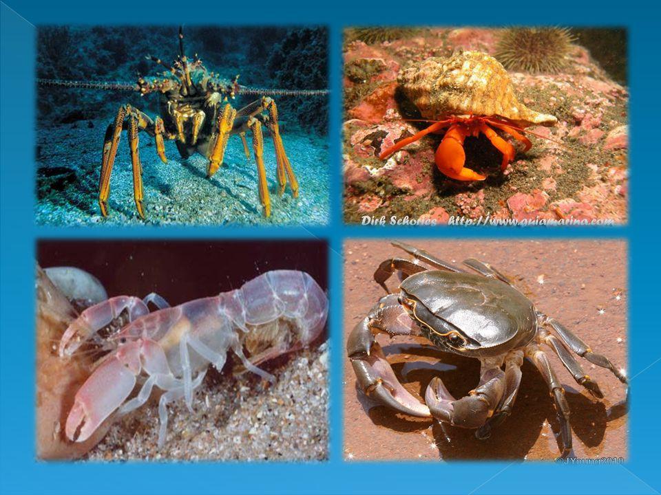 Crustacea Crustacea (dalam bahasa latinnya, crusta = kulit) memiliki kulit yang keras.Udang, lobster, dan kepiting adalah contoh kelompok ini.Umumnya