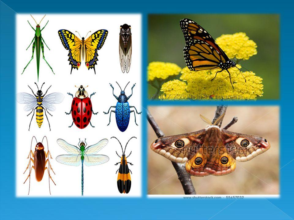  Ciri – ciri Insecta Ciri khususnya adalah kakinya yang berjumlah enam buah.Karena itu pula sering juga disebut hexapoda. Tubuh Insecta dibedakan men