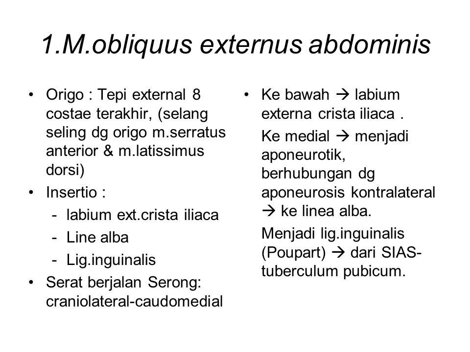 1.M.obliquus externus abdominis Origo : Tepi external 8 costae terakhir, (selang seling dg origo m.serratus anterior & m.latissimus dorsi) Insertio :