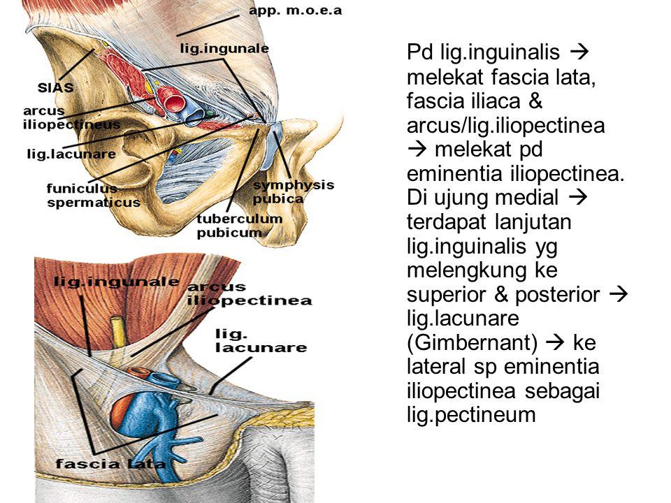Pd lig.inguinalis  melekat fascia lata, fascia iliaca & arcus/lig.iliopectinea  melekat pd eminentia iliopectinea. Di ujung medial  terdapat lanjut